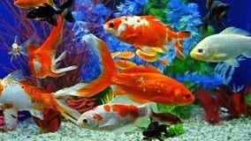 Cámara lenta de la natación de los pescados en acuario de agua dulce