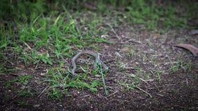 Cámara lenta de la persona que lanza una serpiente lisa de la caja Coronella Austria metrajes