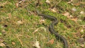 Cámara lenta de la serpiente de la víbora almacen de video