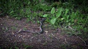 Cámara lenta de la serpiente lisa en arrastrarse de la hierba Exploración del piso del bosque metrajes
