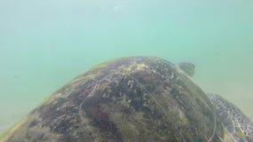 Cámara lenta de la tortuga que es alimentada alga marina por el hombre local para entretener a turistas almacen de metraje de vídeo