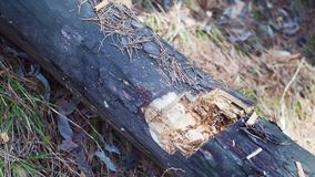 Cámara lenta de un árbol caido corte del hacha Visión de Op. Sys. cercana metrajes