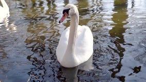 Cámara lenta de un cisne que considera en la cámara en un lago la puesta del sol metrajes