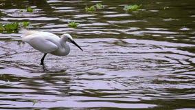 Cámara lenta de un Egretta blanco Garzetta que pesca pequeños pescados en la charca de agua almacen de metraje de vídeo