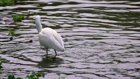Cámara lenta de un Egretta blanco Garzetta que pesca pequeños pescados en la charca de agua almacen de video
