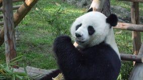 Cámara lenta de un gigante divertido Panda Eating Bamboo almacen de video