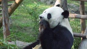 Cámara lenta de un gigante divertido Panda Eating Bamboo almacen de metraje de vídeo