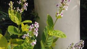 Cámara lenta de un vuelo de la abeja a través de las flores blancas finas almacen de metraje de vídeo