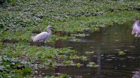 Cámara lenta del Egretta blanco Garzetta de dos adultos en el agua del lago Taipei metrajes