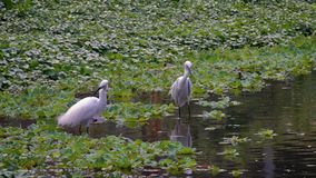 Cámara lenta del Egretta blanco Garzetta de dos adultos en el agua del lago Taipei almacen de metraje de vídeo