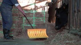 Cámara lenta del granjero de lechería que limpia un establo moderno, mientras que las vacas están comiendo metrajes