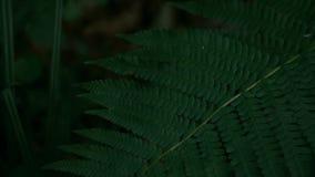 Cámara lenta del helecho de la planta verde, tiro oscuro, un color verde rico profundo almacen de metraje de vídeo