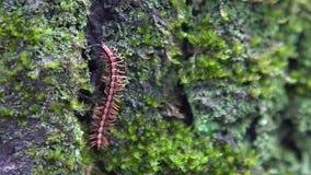 Cámara lenta del milpiés que camina en árbol del musgo en Taiwán Chamberlinius macro metrajes