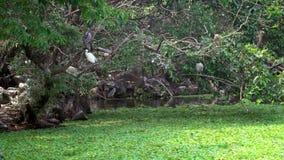 Cámara lenta del Nycticorax y del Egretta blanco Garzetta de los pájaros de los adultos en el lago almacen de metraje de vídeo