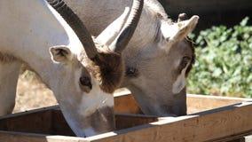 Cámara lenta del oryx de cuernos de la cimitarra que come la comida almacen de video