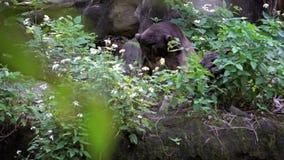 Cámara lenta del oso de Sun que miente en la hierba en bosque entre los árboles en el parque zoológico almacen de metraje de vídeo