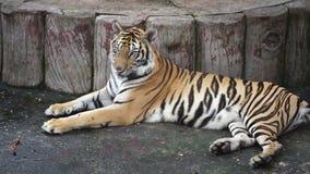 Cámara lenta del tigre almacen de video