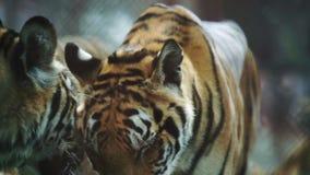 Cámara lenta del tigre almacen de metraje de vídeo
