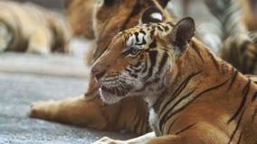 Cámara lenta del tigre metrajes