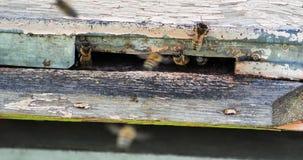 Cámara lenta del vuelo de Honey Bee alrededor de la colmena con el fondo borroso apicultura almacen de metraje de vídeo