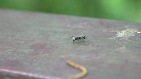 Cámara lenta macra de una hormiga negra grande que camina en el salvaje del bosque en Taiwán almacen de video