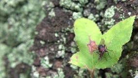 Cámara lenta una mosca en la hoja del árbol en la naturaleza Taiwán de la selva tropical almacen de video