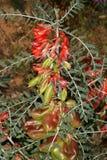 Cáncer Bush (frutescens) de Sutherlandia, una medicina herbaria popular de Suráfrica Fotos de archivo