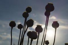 Cápsula da flor da papoila Haste seca longa da semente de papoila que espera Imagem de Stock