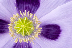 Cápsula de amapola en cama de flor Imagen de archivo