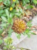 Cápsula de la flor del Gaillardia Foto de archivo