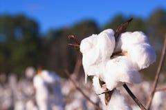 Cápsula del algodón Fotos de archivo libres de regalías