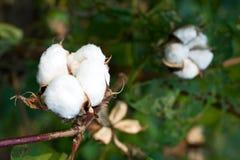 Cápsula del algodón foto de archivo libre de regalías