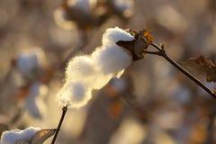 Cápsula del algodón Fotografía de archivo