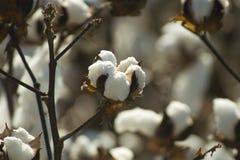Cápsula del algodón Fotografía de archivo libre de regalías