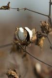 Cápsula del algodón Imagen de archivo libre de regalías