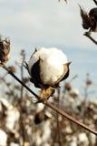 Cápsula del algodón Imagen de archivo