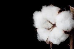 Cápsula del algodón en fondo negro Imágenes de archivo libres de regalías