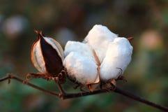 Cápsula do algodão Fotos de Stock