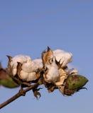 Cápsula do algodão Foto de Stock