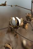 Cápsula do algodão Imagem de Stock Royalty Free