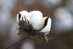 Cápsula do algodão de Alabama do condado da pedra calcária fotografia de stock