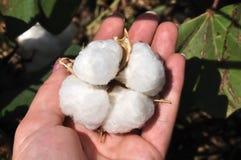 Cápsula madura del algodón Foto de archivo libre de regalías