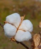 Cápsula partida del algodón Foto de archivo