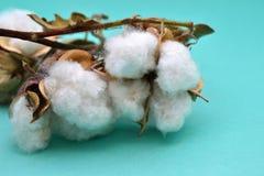 Cápsulas cosechadas del algodón Fotografía de archivo