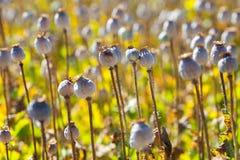 Cápsulas da semente de papoila Fotos de Stock Royalty Free