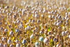 Cápsulas da semente de papoila Fotos de Stock