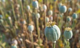 Cápsulas da semente do Papaver Fotografia de Stock