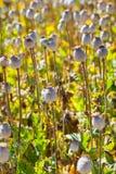 Cápsulas de la semilla de amapola Fotografía de archivo libre de regalías