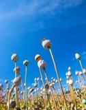 Cápsulas de la semilla de amapola en un fondo del cielo Fotos de archivo libres de regalías