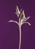 Cápsulas de la semilla en la luz infrarroja Imagen de archivo